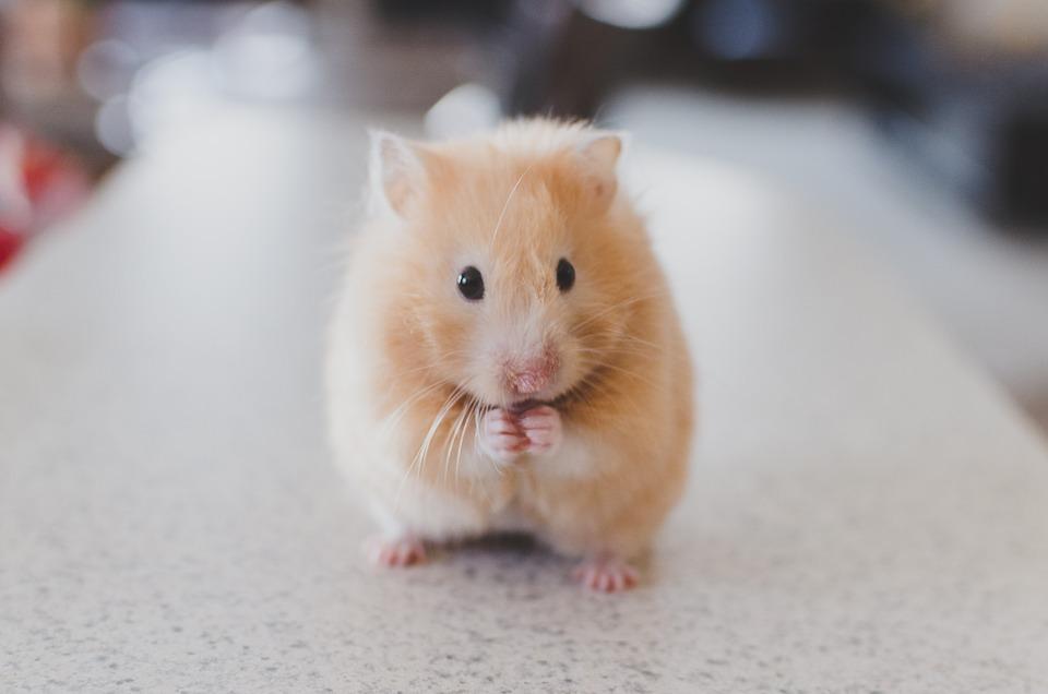 L'odorat d'un hamster fonctionne comment?